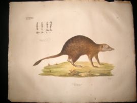 Goldfuss C1830 LG Folio Hand Colored Print. Meerkat